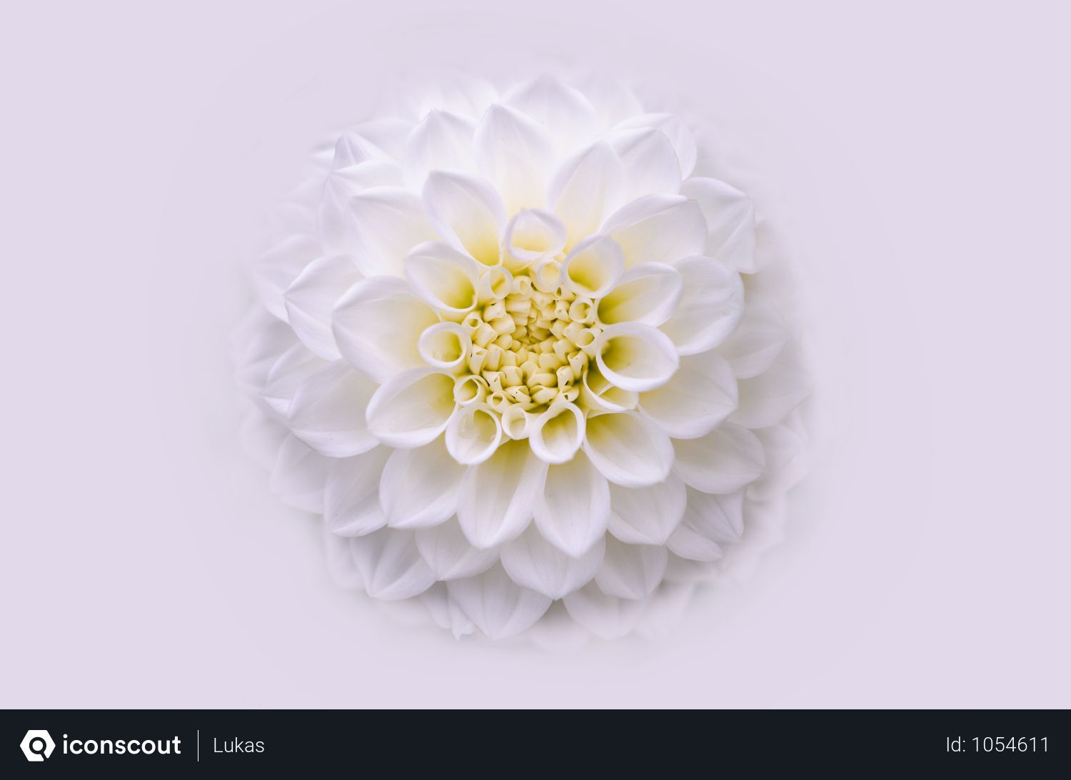 Free Dahlia Flower Photo Download In Png Jpg Format Flower Photos Dahlia Flower Flowers