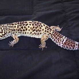 Leopard Geckos Setup Reptiles #leopardgeckos