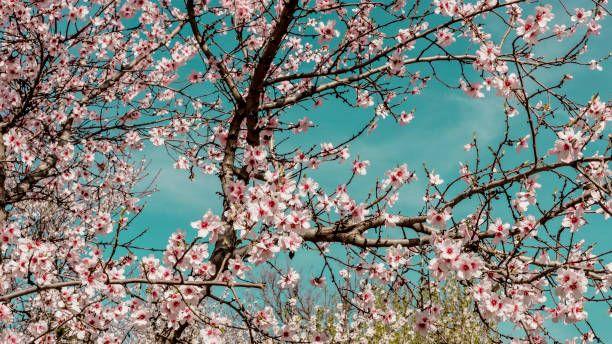 Almond Trees In Bloom In Spain