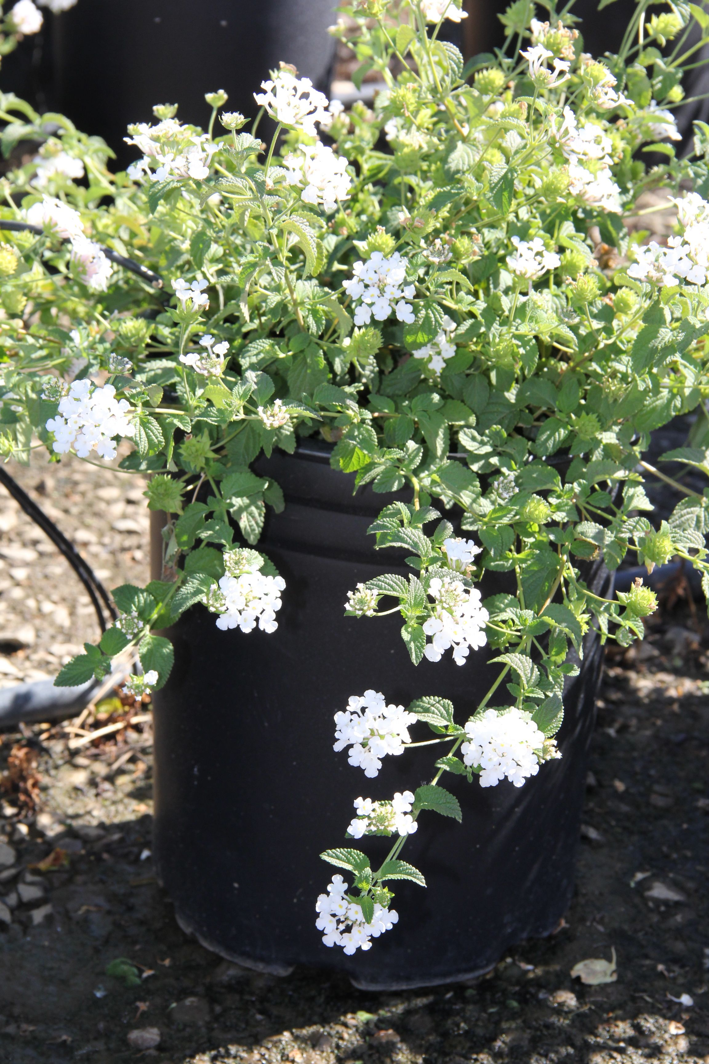 Lantana Montevidensis Trailing White Fall Favorites Pinterest
