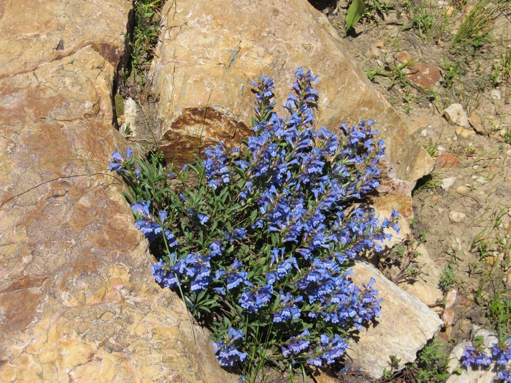 Swan Peak Quartzite with flowers growing from a crack © Susanne Janecke