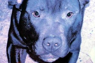 Outrage Over Lennox Dog Put To Sleep For Looking Like A Pit Bull In Northern Ireland