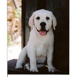 Pin By Sydney Cortright On Pups Labrador Breeders White Labrador Labrador Retriever Puppies