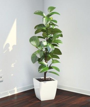 rubber fig ficus elastica