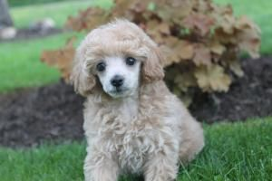 Pin By Lisa Sarrett On Poodles Poodle Puppies For Sale Dogs