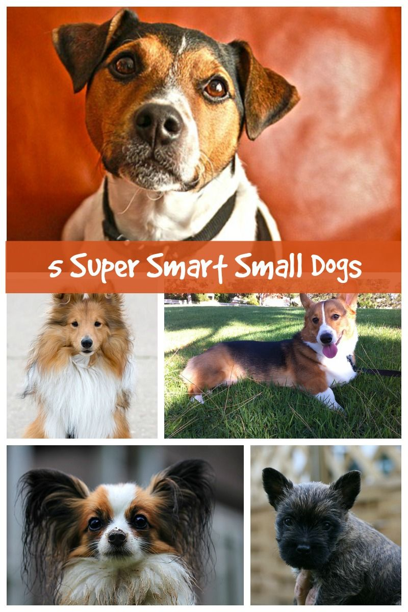 Five Small Dog Breeds That Are Highly Intelligent - Dog Vills | Smartest dog  breeds, Dog breeds, Small dog breeds