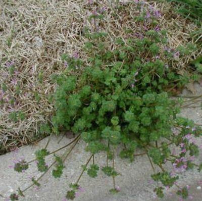 Henbit Weeds In North Texas Lawns http://www.greentoplawncare.com ...