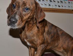 Adopt Missy On Hound Dog Plott Hound Hound Breeds