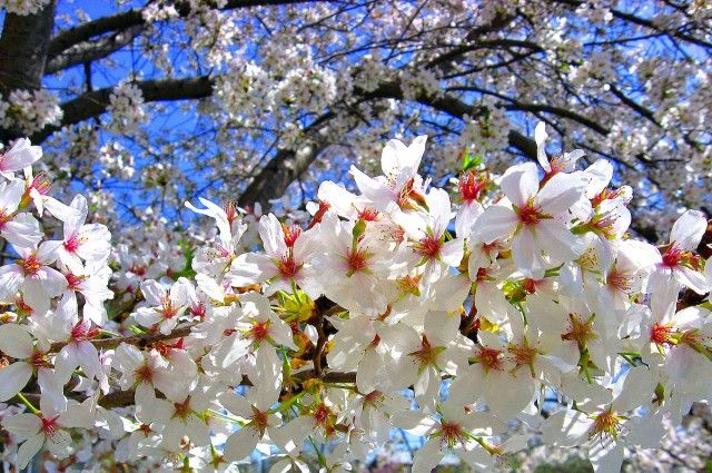 Space Travel Makes Cherry Trees Bloom Years Early