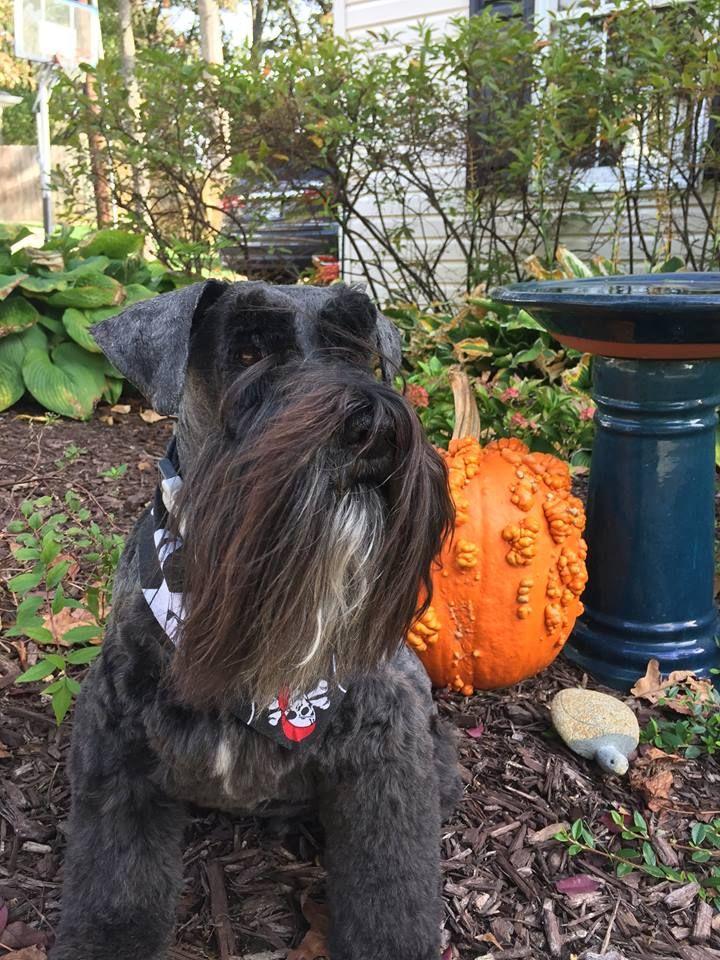 Ike With His Halloween Haircut And Spooky Bandana Perfect Pets