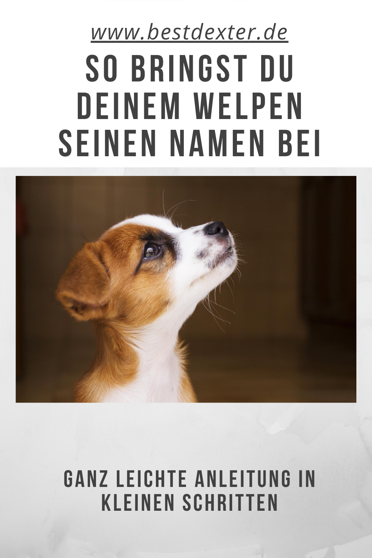 Dem Welpen Seinen Namen Beibringen Bestdexter De Welpen Hunde Welpen Erziehung Hunde Welpen