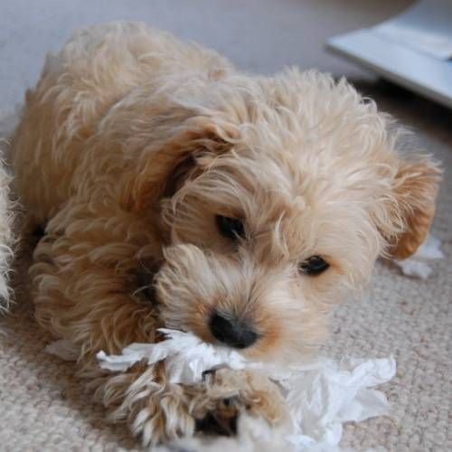 Apricot And White Schnoodle Pup Cannot Wait To Meet Ours On