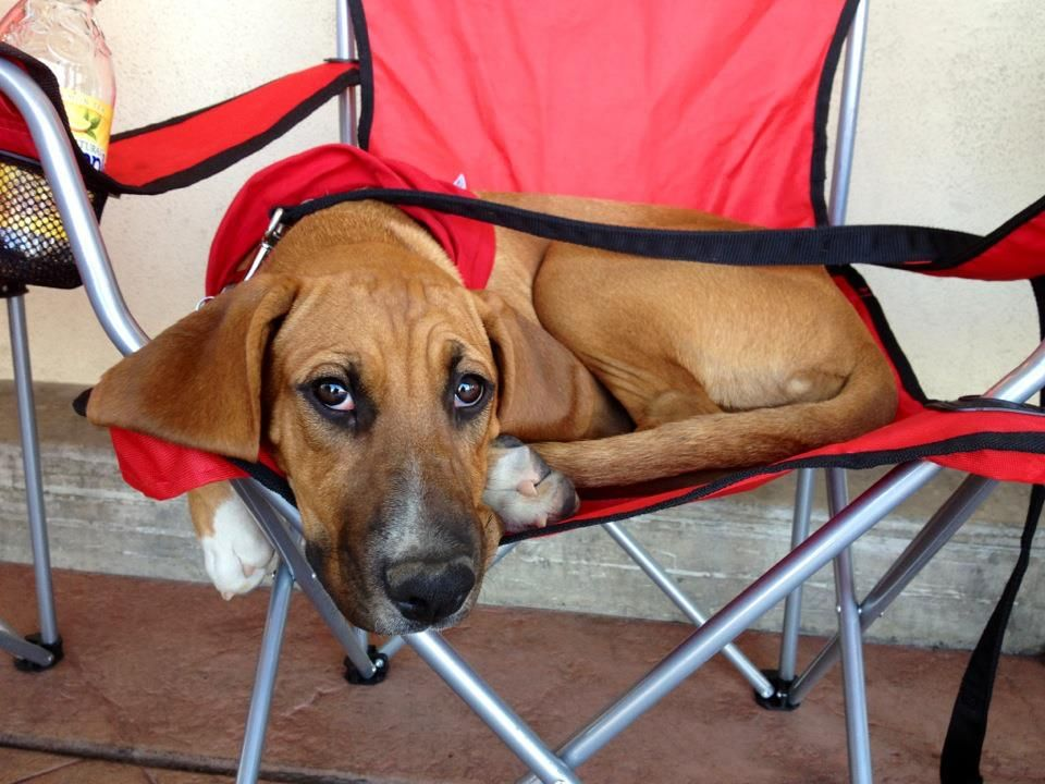 Izzy. 4 mo old female Bloodhound/Boxer mix. AWESOME girl