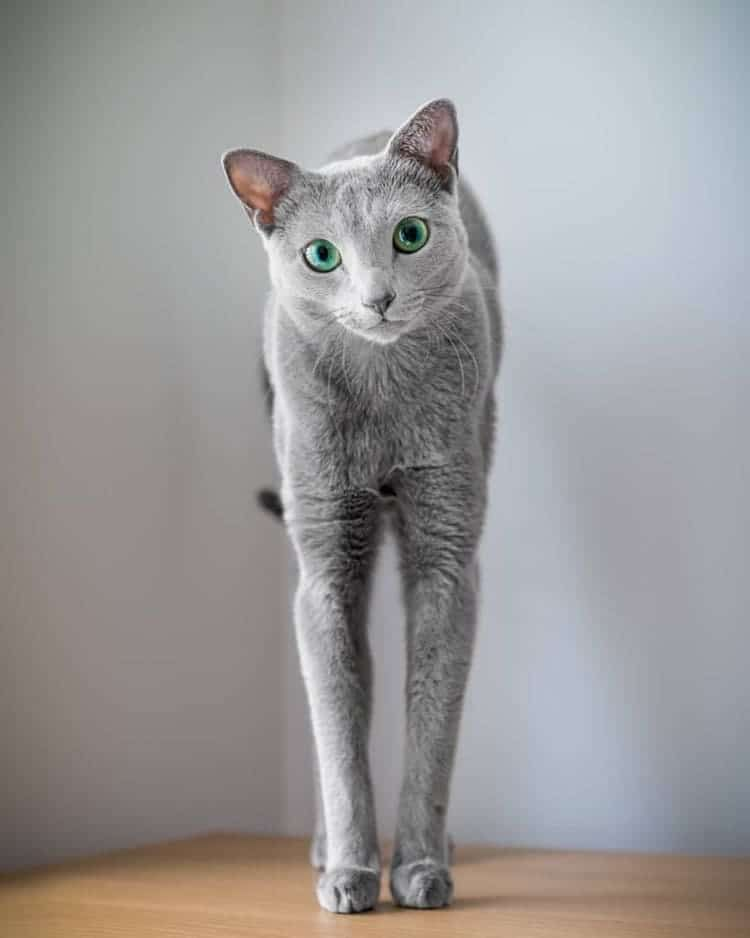 Russian Blue Cat Sisters Share Majestic Green Eyes And Silver Fur