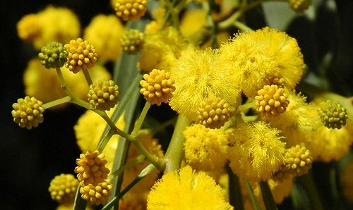 The Golden Wattle Acacia Pycnantha Is Australias National Flower