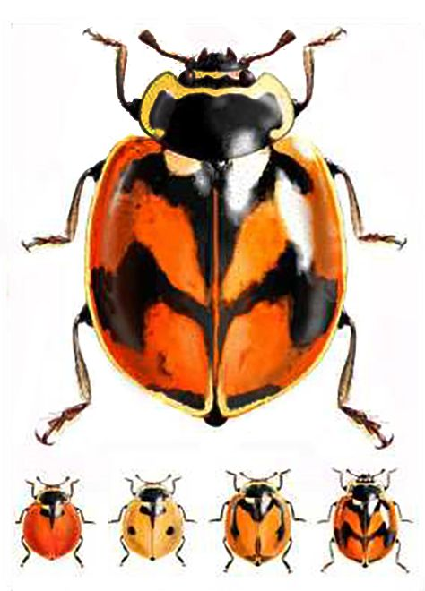 Adalia Deficiens Weird Insects Bugs And Insects Beautiful Bugs