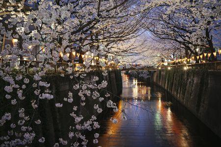 After The Rain By Kaz Watanabe 500px Japan Sakura Sakura Cherry Blossom Blossom Trees