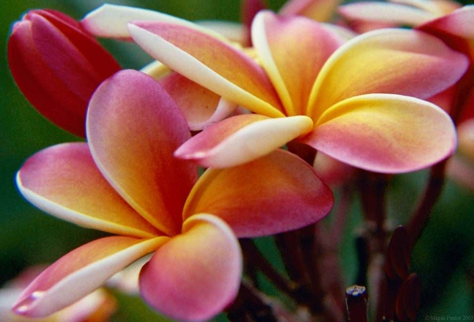 Pretty Flower pretty plumeria | aloooooooha! | pinterest | beautiful, kvetina a