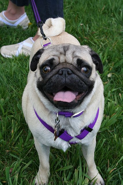 Pug Day At The Park Pugs Pug Love Cute Pictures