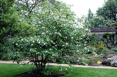 Magnolia Sieboldii Tree Google Search Backyard Plants Garden