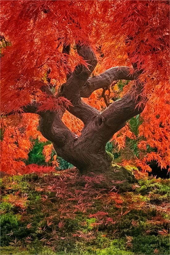 Dragon tree (120 years old maple tree), Portland Japanese Gardens // by Jeremy Cram