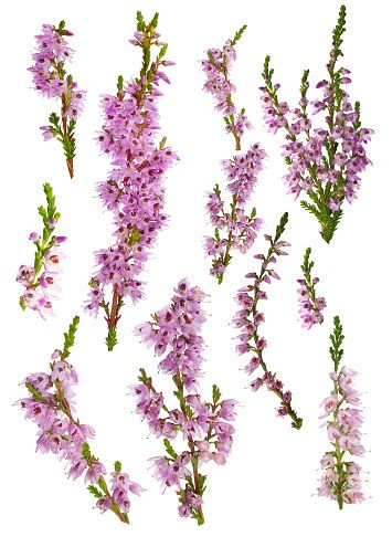 Set Of Heather Blossoms Isolated On White Picture Id525040516 355 486 Heather Flower Scottish Tattoos Scottish Flowers