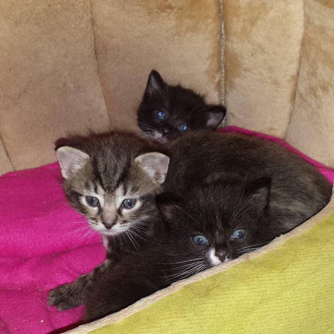 Kata Gsd Fonzie 4 Cats On Instagram Kitty Kittys Cat Cats Cat2see Kissa Kissat Kissanpentu Kissanpennut 3 Weeks Old Grey Gr Cats Cat S Gsd