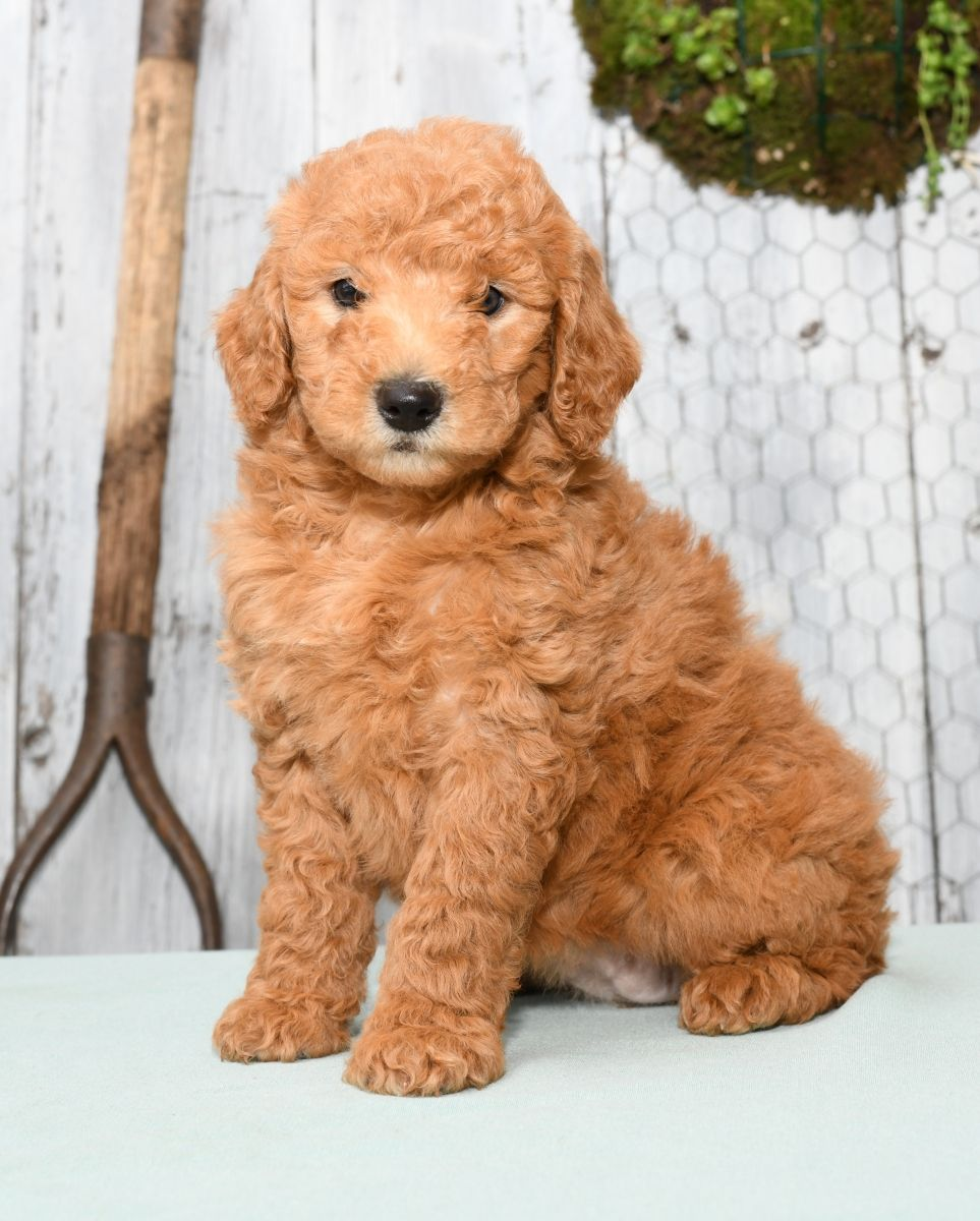 Lively MiniLabradoodle Mini labradoodle puppy