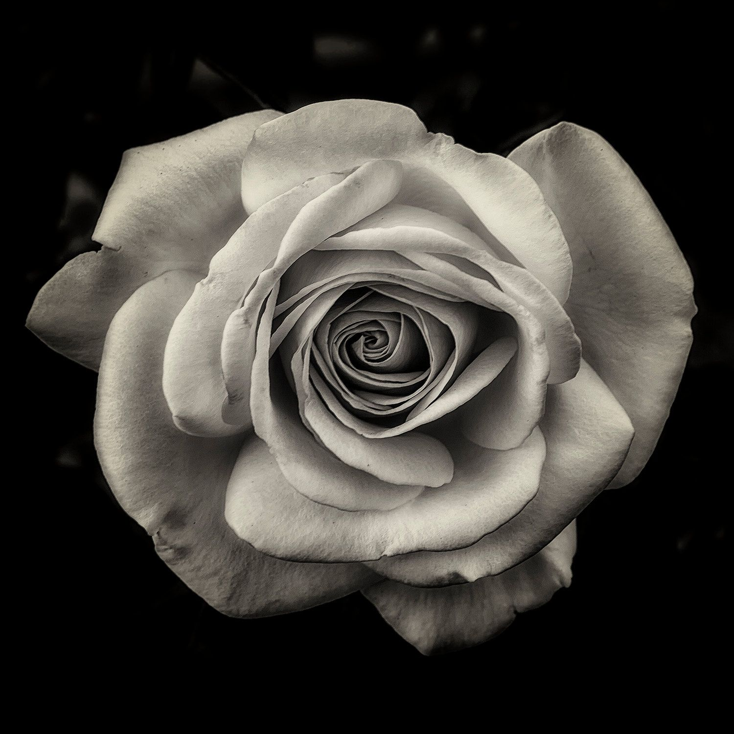 A Sharon To A Rose Black, white flowers, Flower art