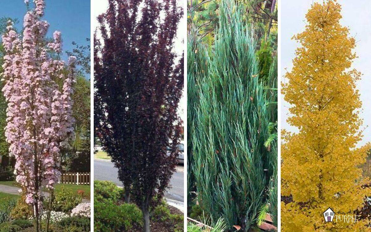 Narrow Trees For Small Yards That Pack A Punch Ornamental Trees Landscaping Evergreen Trees For Privacy Small Ornamental Trees