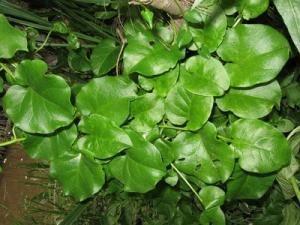 Como Plantar Guaco 6 Passos Plantas Medicinais Plantas E
