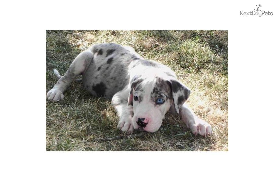 Merlequin Great Dane Puppies Sale Gorgeous Merlequin With Blue