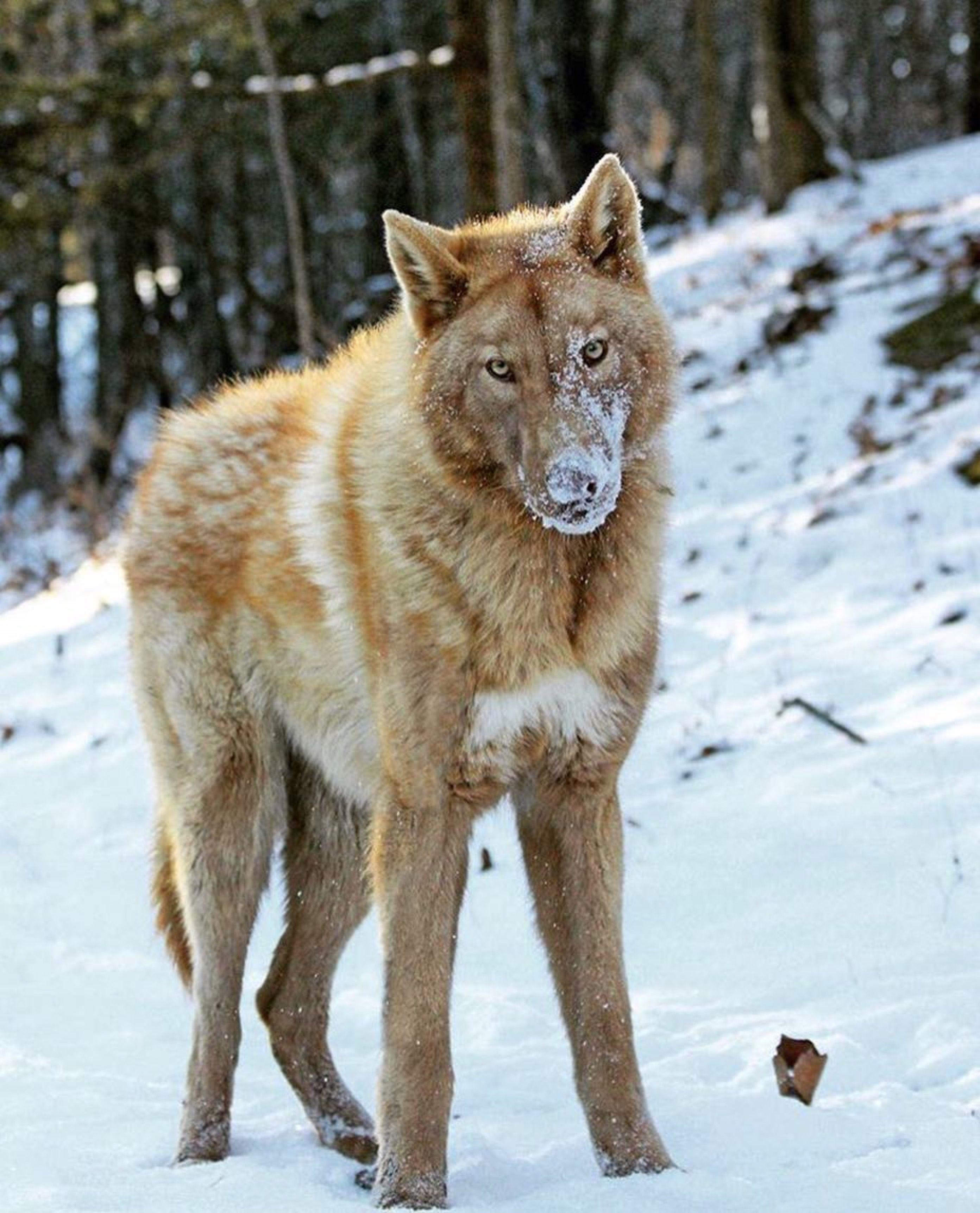 Photo Credit Thatgirlwiththewoofs Wolf Dog Animals Beautiful