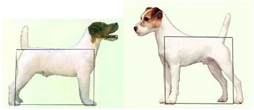 parson russell terrier vs jack russell