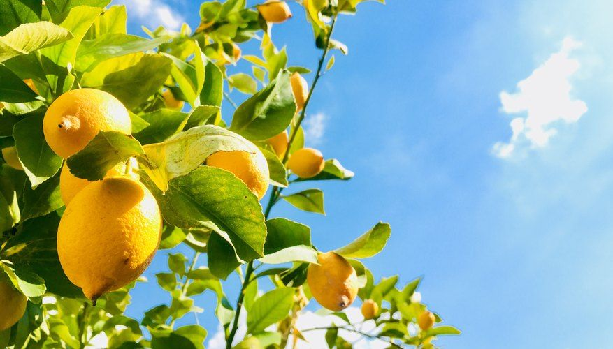 How long does a lemon tree take to produce fruit in 2020