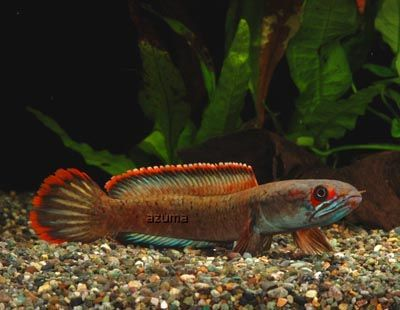 Channa sp. Fire and Ice