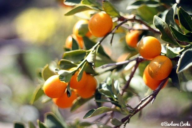 kumquat branches october january orange flowers pinterest