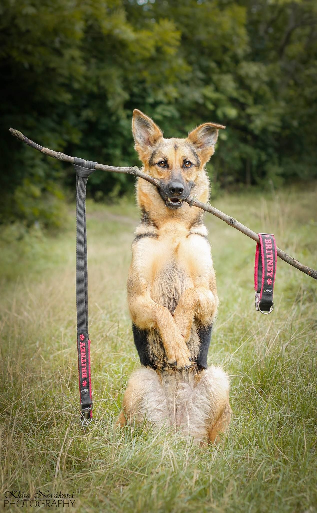 Pin by German Shepherd Webstore on German shepherds