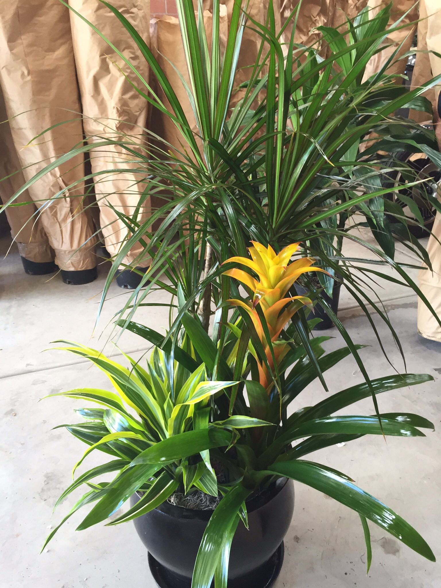 Dracaena Marginata, Flowering Bromeliad, & Warneckii Lemon Lime Ready To