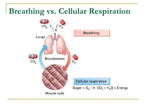 top differences between breathing and respiration