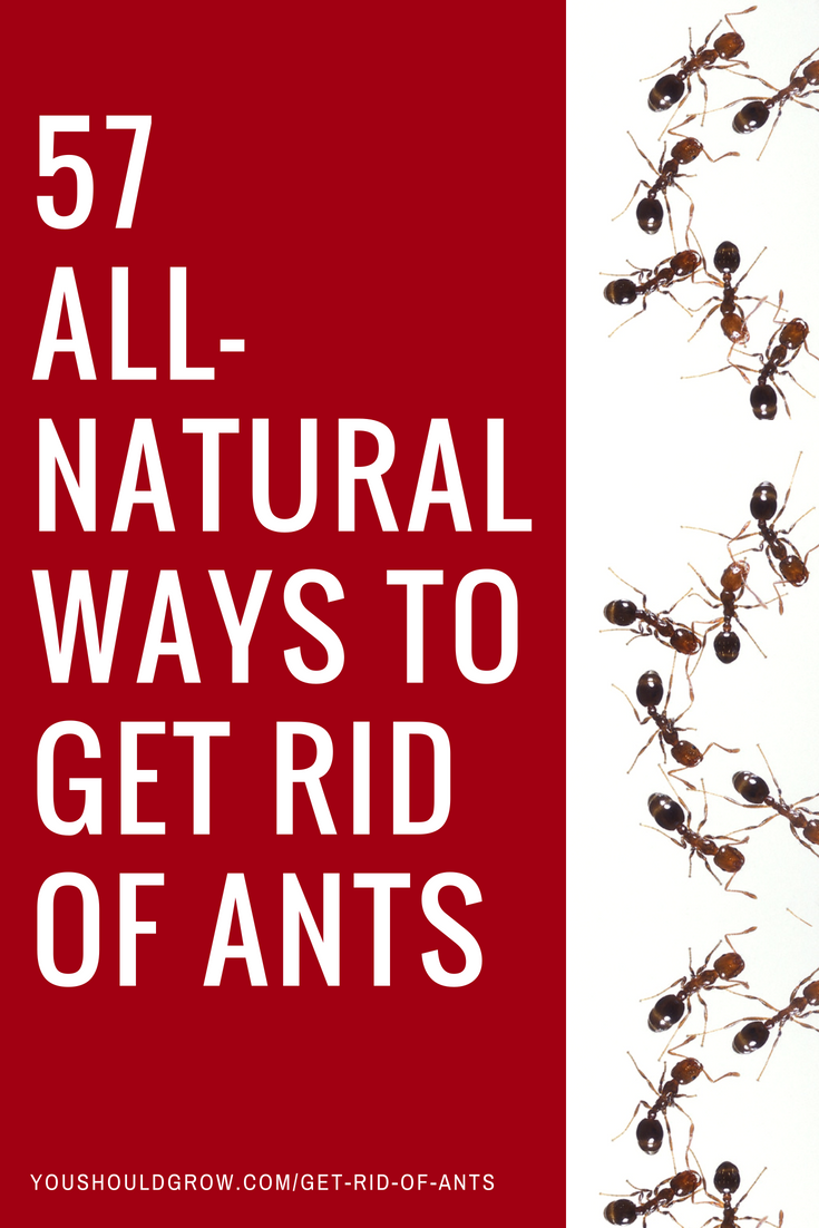 57 all natural ways to get rid of ants landscaping ideas rid of ants get rid of ants. Black Bedroom Furniture Sets. Home Design Ideas