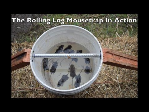 11 Mice In One Night The Rolling Log Mouse Trap In Action