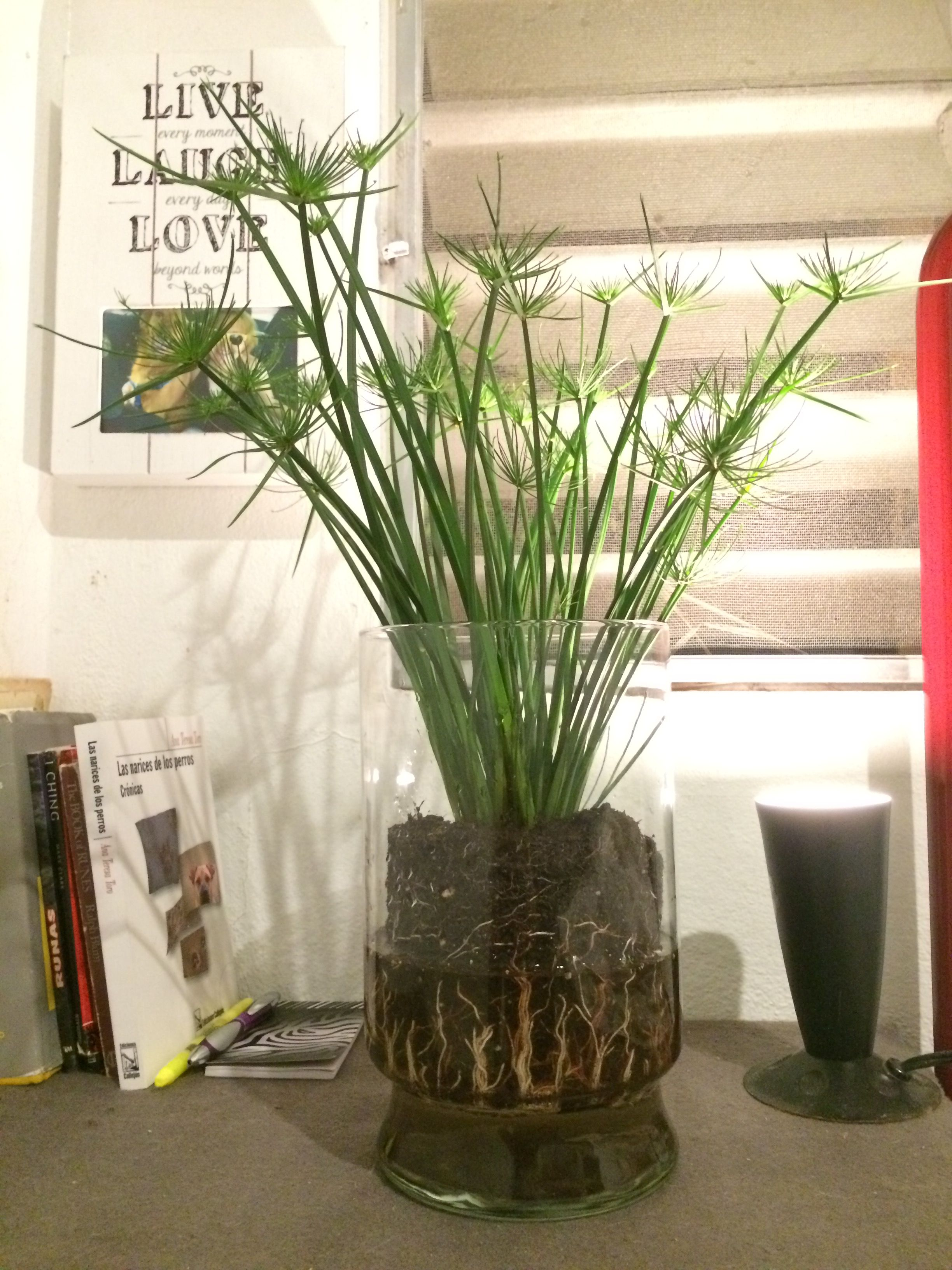 dwarf papyrus plant in glass vase my new tiny apartment with the big terrace vn jardins. Black Bedroom Furniture Sets. Home Design Ideas