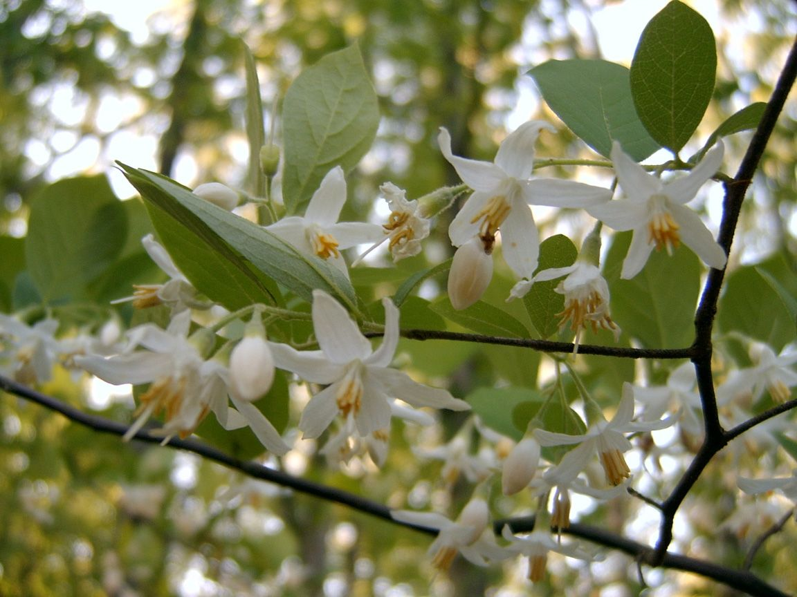 White flowering trees florida bing styrax americana in my white flowering trees florida bing styrax americana in my mightylinksfo