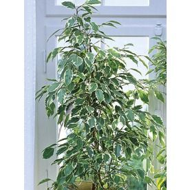 Shop 1 75-Gallon Ficus (L20939HP) at Lowes com | Offication | Ficus