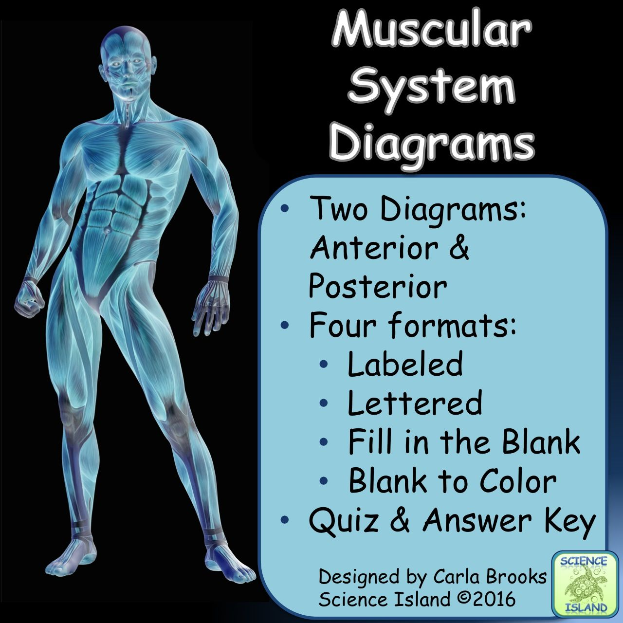 Muscular System Diagrams Study Label Quiz Color School Full Body Muscle Diagram Anatomy Muscles Labeled This Product Contains 2 Skeletal One Anterior And Posterior In 4 Different Formats For A Total Of 8 High Quality Drawings