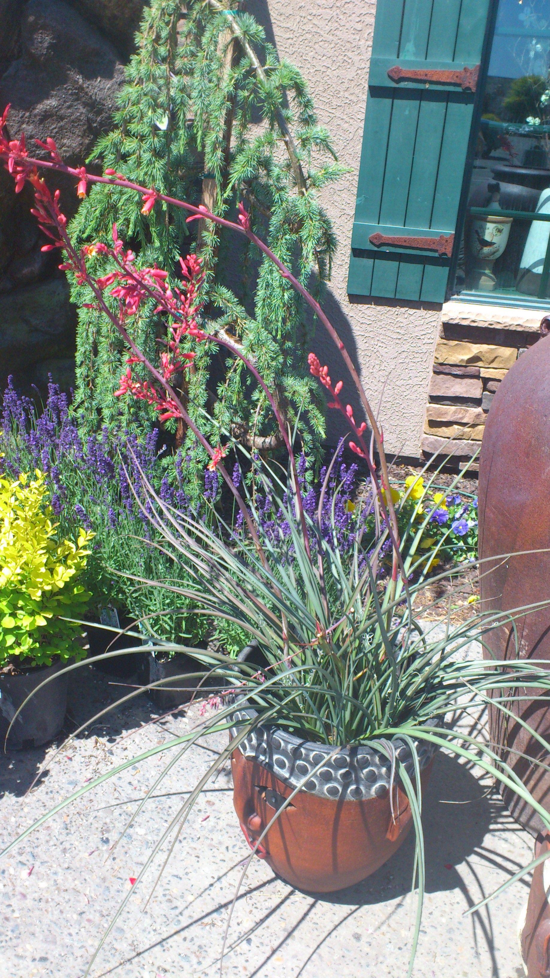 Red Yucca   Desert flowers, Flower garden