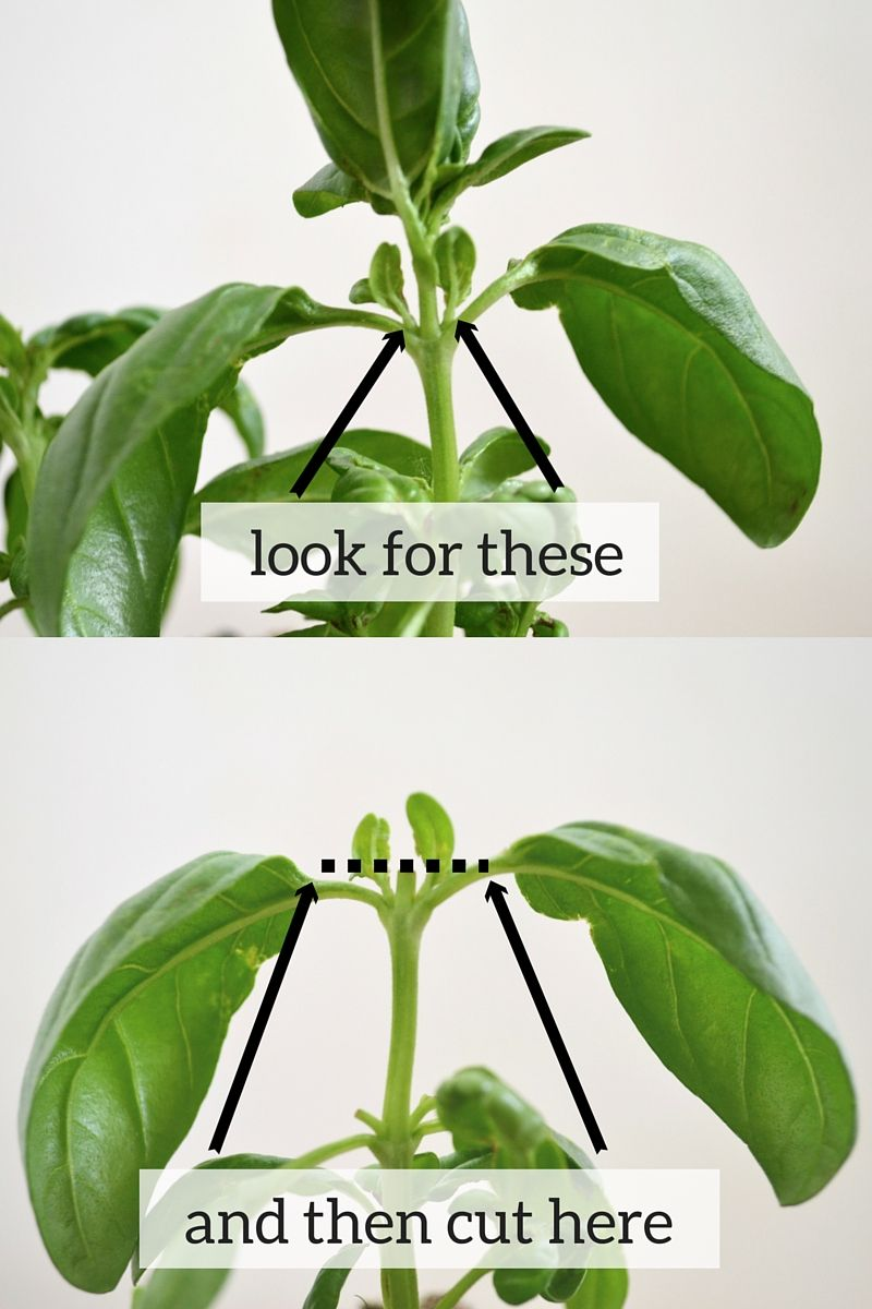 How To Prune Basil Pruning Basil Plant Leaves Plants