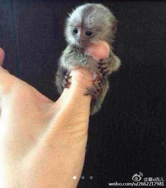 Thumb sized monkeys are China's new musthave pet Cute