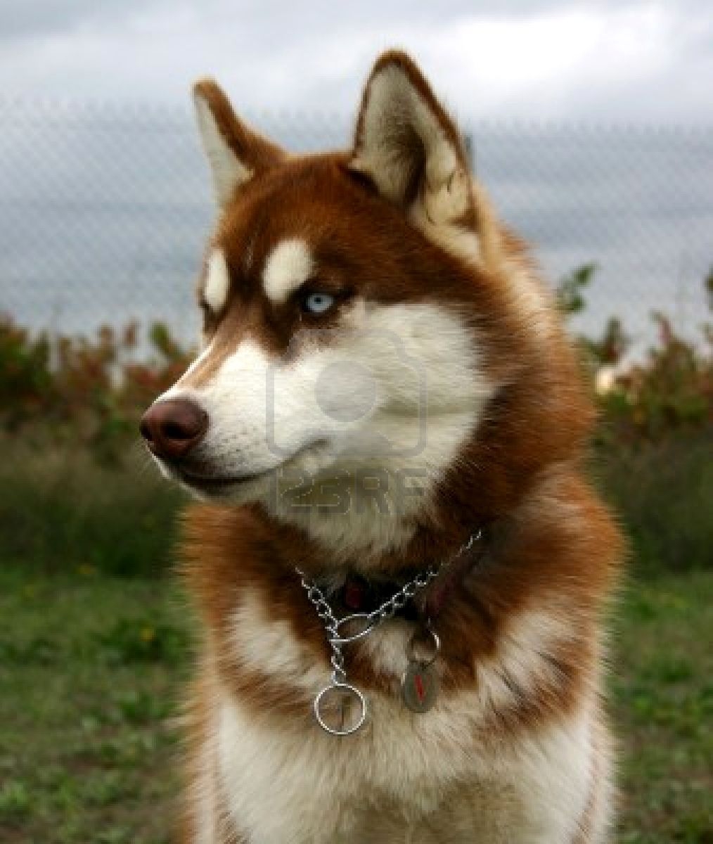 This Is Teddy The Red And White Wooly Siberian Husky With Blue